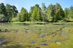 Algae and pond Stock Image