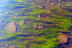 Algae in the river Royalty Free Stock Photos