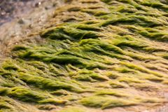 Algae on the River`s Edge. In the Detroit River Royalty Free Stock Photos