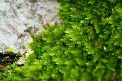 Algae on rock. Green algae on the rock royalty free stock image