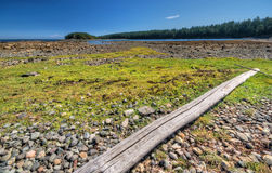 Algae on rocky shore. Gulf Islands National Park reserve, Cabbage Island, British Columbia, Canada Stock Image