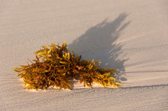 Algae on the sandy beach. A piece of Algae on the beach at the late afternoon Royalty Free Stock Photos