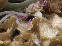 Algae and sea anemone Stock Photography