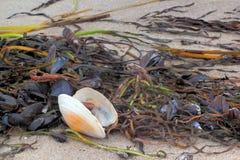 Algae and seashells Royalty Free Stock Images