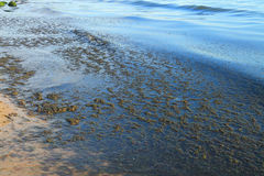Algae on the shore of the Baltic Sea Royalty Free Stock Image