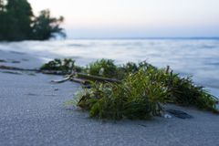 Algae on the shore of a close-up. The beginning of the sunset on stock photos