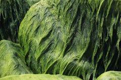 Algae on stones Royalty Free Stock Images