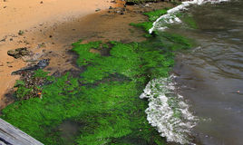 Algae in the Sydney Harbour Stock Photo