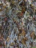 Algae vegetation Royalty Free Stock Image