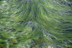 Algae in water on coast of Wales. Green algae in the water on the coast of Wales Stock Photography