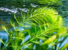Algae in the water stream Royalty Free Stock Photography