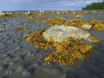Algaes en stenen op de kust. Royalty-vrije Stock Afbeeldingen