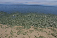 Algal biofilm on lakeshore. Thick layer of green algae separates beach from lake Stock Images