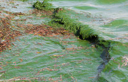Algal bloom Stock Images