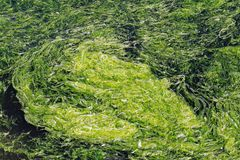 Algal bloom Royalty Free Stock Photography
