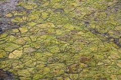 Algal mats on a lake. Stock Images