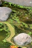 algalblom Arkivbild