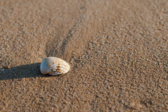 Algarve Seashell Zdjęcie Royalty Free