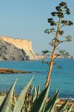 Algarve tree. Praia da Luz, agave, algarve, aloe, balearic, bay, beach, beautiful, bloom, blooming, blossom, blue, branch, cactus, cala, cliff, coast, coastline Royalty Free Stock Photo