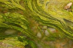Algas Foto de archivo libre de regalías