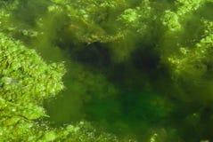 Algas da lagoa Fotografia de Stock Royalty Free