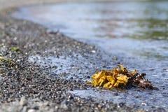 Algas de Dulse y de Bladderwrack en la playa Fotografía de archivo libre de regalías