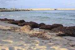 Algas de la alga marina de Brown imagen de archivo libre de regalías