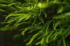 Algas do aquário, elementos da flora no aquário fotos de stock