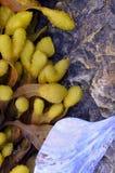 Algas do Rockweed da bexiga Fotografia de Stock