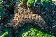 Algas e escudos de França da baía de Arcachon em rochas fotografia de stock royalty free