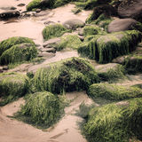 Algas e rochas verdes em Waterville, Kerry do condado - efeito do vintage Fotos de Stock
