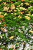Algas en el río Foto de archivo