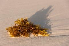 Algas en la playa arenosa Fotos de archivo libres de regalías