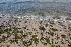 Algas inoperantes Fotografia de Stock