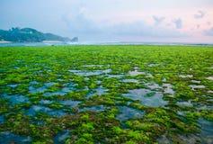 Algas marinas verdes imagen de archivo libre de regalías