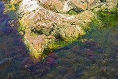Algas marinhas Fotografia de Stock