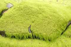 Algas marinhas com musgo verde Fotos de Stock Royalty Free