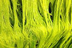 Algas marinhas verdes Fotografia de Stock Royalty Free
