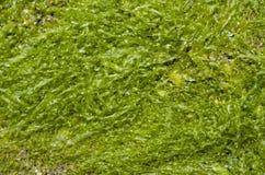 Algas mojadas verdes Cystoseira Imagen de archivo libre de regalías