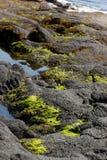 Algas nas rochas vulcânicas praia da areia do preto de u em Punalu ', Havaí imagens de stock royalty free