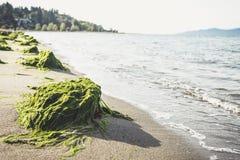 Algas på stranden Royaltyfria Foton