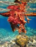 Algas venenosas no Mar Vermelho fotografia de stock