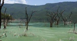 Algas verde-azules, SP del spirulina , La comida para los flamencos, esta las algas contiene los pigmentos que les dan su color r metrajes