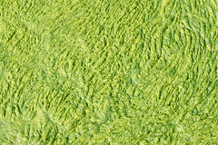 Algas verdes Fotografia de Stock