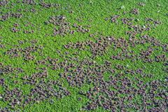 Algas verdes Imagen de archivo libre de regalías