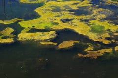 Algas verdes Foto de archivo libre de regalías