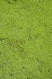 Algas verdes El fondo sólido Foto de archivo libre de regalías