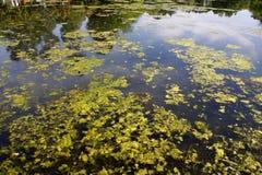 Algas verdes em um lago imagens de stock