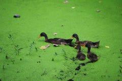 Algas verdes en el pato Foto de archivo libre de regalías