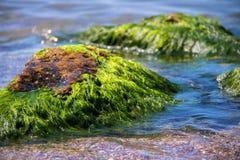Algas verdes en una roca en el medio del mar Piedra, rocas, algas y mar, orilla y piedras Paisajes hermosos, playa, natu foto de archivo